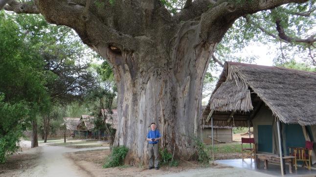 Baobabträd