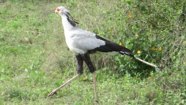 Sekreterarfågeln heter inte så för att den har pennor bakom öronen.