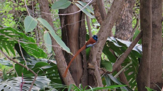 Afrikansk paradisfågel