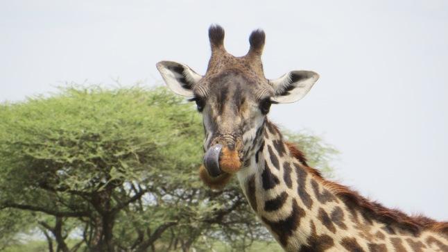 Jag må vara portad från Ngorongoro, men jag kan åtminstone äta mina egna snorkråkor utan att använda hovarna!